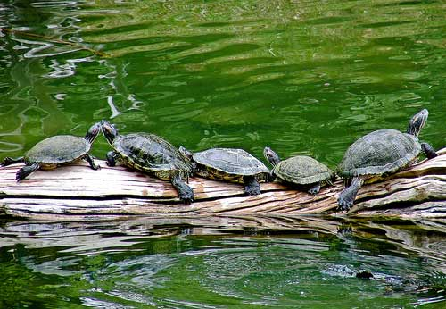 Turtle-family-Nickso